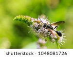 Small photo of Strange looking insect Ammophila sabulosa, the red-banded sand wasp feeding on a white flower.