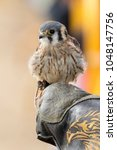 Small photo of American kestrel in the falconer's fist