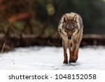 very dangerous and angry wolf | Shutterstock . vector #1048152058
