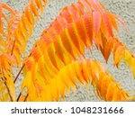 Small photo of Acetic tree. Red and yellow leaves on a background of gray wall.