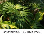 philodendron sp.philodendron.... | Shutterstock . vector #1048254928