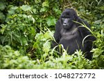 Young Mountain Gorilla Rests I...