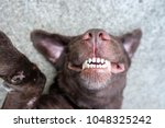 Stock photo dog lie on its back and show smiling dog teeth 1048325242
