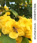 Small photo of Bees and yellow flower in nature strut Tecoma