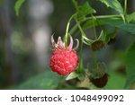 fresh raspberry on the branch.... | Shutterstock . vector #1048499092