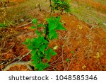 blister or siamese weed on... | Shutterstock . vector #1048585346