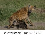 hyena family with pups suckling ... | Shutterstock . vector #1048621286