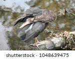 young black stork  ciconia... | Shutterstock . vector #1048639475