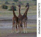 group of giraffe is standing or ...   Shutterstock . vector #1048657472