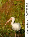 Small photo of An American white ibis hunting near the waters edge in the wetlands.