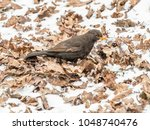 The Common Blackbird  Turdus...