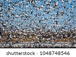 """Small photo of A Blizzard of Geese in New Mexico. Snow Geese """"blast off"""" (thousands taking off at the same time) is breathtakingly spectacular. The accompanying cackling is always nature's greatest symphony."""