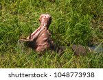 hippo showing its teeth in... | Shutterstock . vector #1048773938