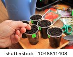 gardener holds seed of pepper... | Shutterstock . vector #1048811408