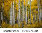 Fall Foliage In Aspen Grove ...