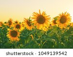 Large Yellow Sunflower Flowers...