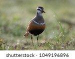 eurasian dotterel  charadrius... | Shutterstock . vector #1049196896