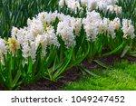 white flowers hyacinths growing ...   Shutterstock . vector #1049247452