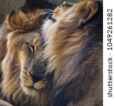 Small photo of Brotherly love between lions