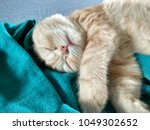 Stock photo sleeping kitten head with light fur kitty pet animal portrait lovely little cat relaxing small 1049302652