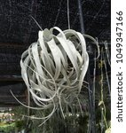 Small photo of Closeup Hanging white tillandsia air plant