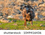 golden eagle  aquila chrysaetos ... | Shutterstock . vector #1049416436