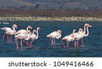 greater flamingo ... | Shutterstock . vector #1049416466