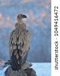 griffon vulture  gyps fulvus ... | Shutterstock . vector #1049416472