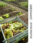 Cabbage Leaves On A Compost...