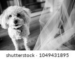 white  poodle dogs   Shutterstock . vector #1049431895