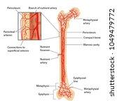 blood supply to the femur ... | Shutterstock .eps vector #1049479772