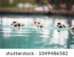 Baby Egyptian Geese In A...