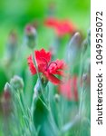 red dianthus flowers blooming...   Shutterstock . vector #1049525072