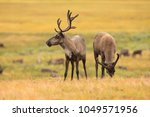 beautiful reindeer in the tundra | Shutterstock . vector #1049571956