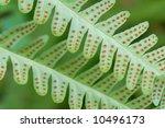 Fern Macro Showing Spores