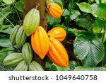 Green And Yellow Cocoa Pods...