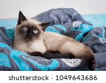 a playful young siamese cat... | Shutterstock . vector #1049643686