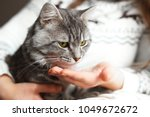 Stock photo woman at home holding her lovely fluffy cat and gives him a pill gray tabby cute kitten pets 1049672672