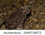 common toad  bufo bufo .... | Shutterstock . vector #1049718572