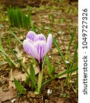 Small photo of Crocus (Iridaceae) in the spring garden. Garden bulb flowers. Nature Photography.