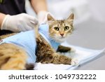 female veterinary doctor puts... | Shutterstock . vector #1049732222