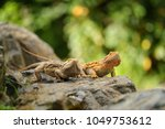 two central bearded dragon on... | Shutterstock . vector #1049753612