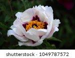 white peony flower closeup.... | Shutterstock . vector #1049787572