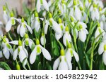 large bush of the first spring... | Shutterstock . vector #1049822942