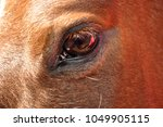 close up of a horses eye with... | Shutterstock . vector #1049905115