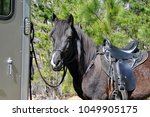 beautiful black paso fino horse | Shutterstock . vector #1049905175