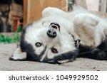 Funny Husky Dog Lying On The...