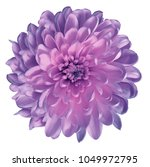 Chrysanthemum   Pink Violet....
