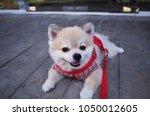 Stock photo pomeranian so cute 1050012605