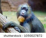 Mandrill. Baboon. This Type Of...